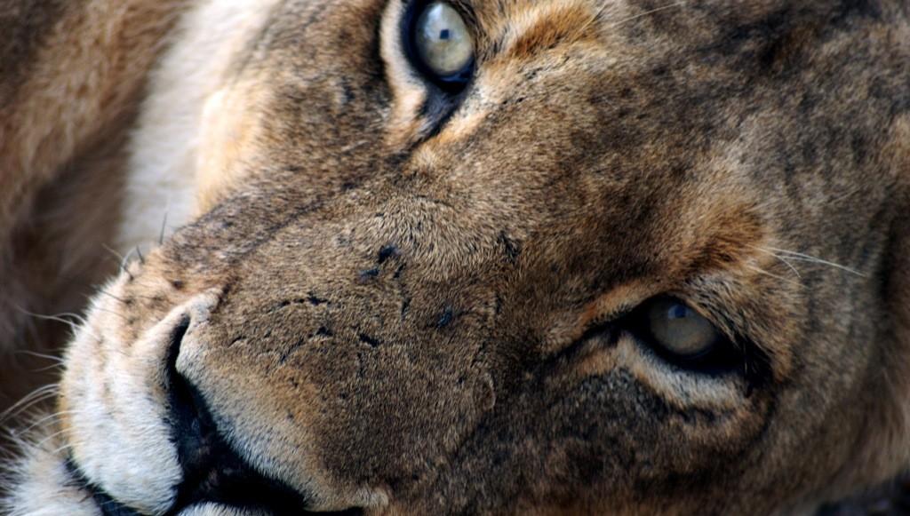 Timbavati lion by nick farnhill